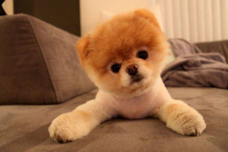 Boo - najpopularniejszy pies na Facebooku 10