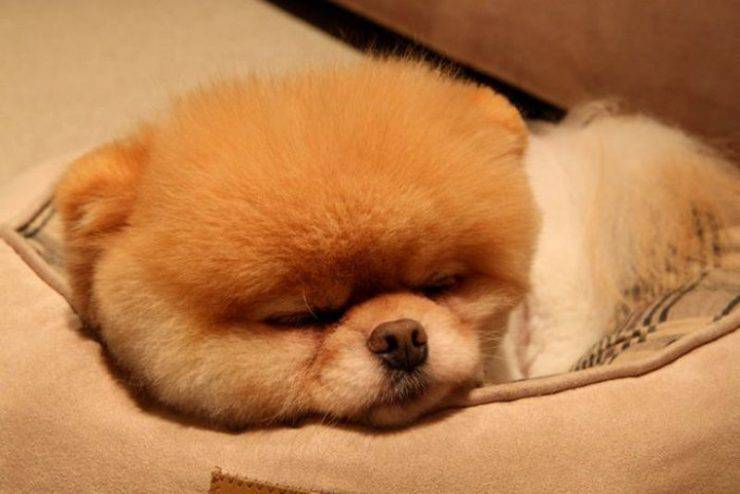 Boo - najpopularniejszy pies na Facebooku 8