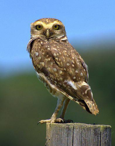 Sowa to dziwny ptak 9
