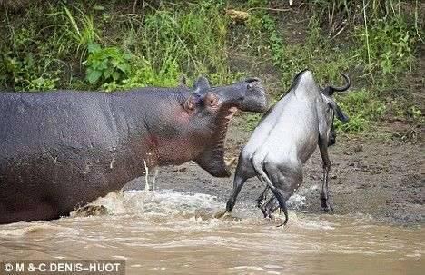Hipopotam atakuje 2