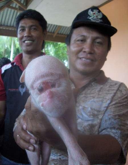 Zmutowana świnka 4