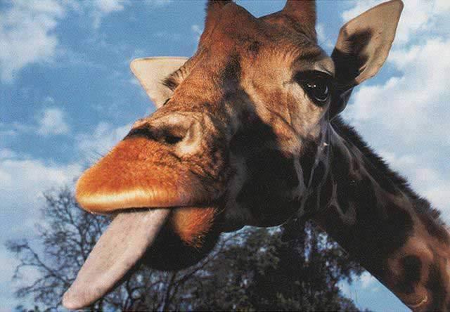 Żyrafy 35