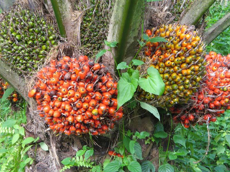 547903541805121ac5c49ad6ace93922bfa6a95 Perusahaan Agrobisnis Dorong Pertumbuhan Ekonomi di Tapsel